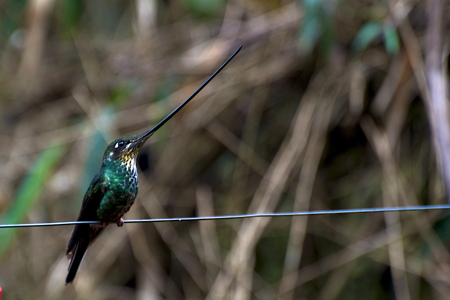 Sword-billed_Hummingbird_fem